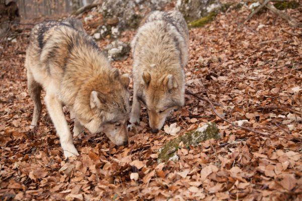 Farkasok szimatolnak a Bükkben - Fotó: BNPI