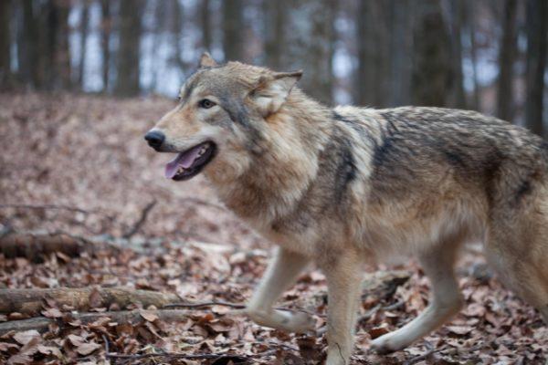 Farkas a Bükkben - Fotó: BNPI