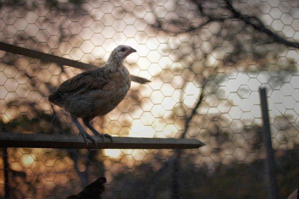 Sok veszélytől védi meg a szárnyasokat a zárt tartástechnológia - képünk illusztráció