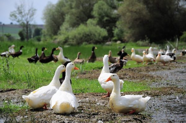 Hatalmas kacsállományt kellett leölni a madárinfluenza H5N8 vírustörzse miatt - képünk illusztráció
