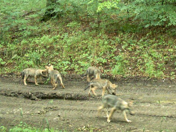 Farkasok kameracsapdás felvételen. Fotó: BNPI
