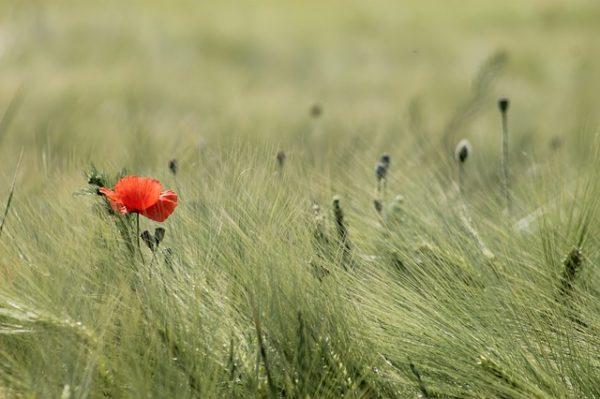 Óriási veszteséget okoznak a brit gabonatermesztőknek a növényvédőszer rezisztens gyomok - képünk illusztráció