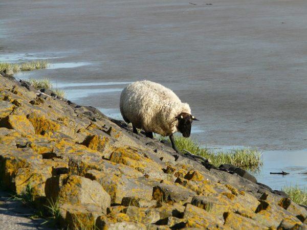 A North Ronaldsay szigetén lakó skót juhok csak hínárt tudnak enni - képünk illusztráció