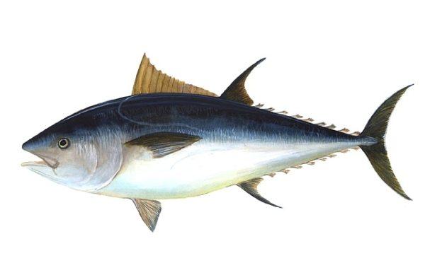 Így néz ki a kékúszójú tonhal