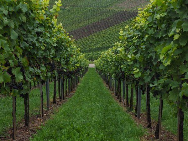Csak január végéig igényelhető a szerkezetátalakítási támogatás a szőlőültetvények modernizálására