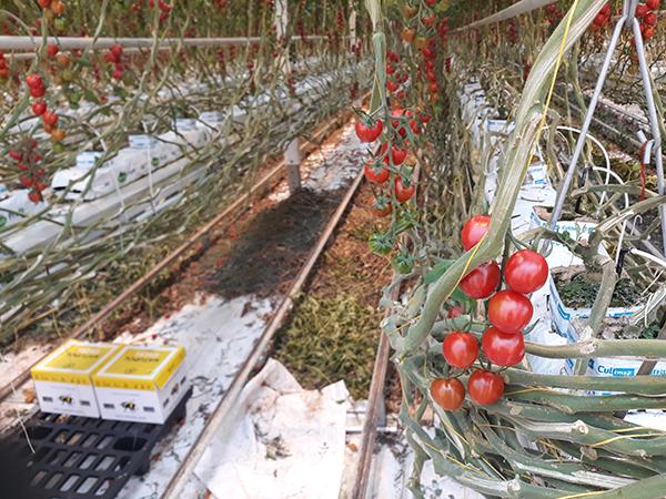 Jelentősen átalakult a hajtatott paradicsom termesztéstechnológiája az utóbbi másfél-két évtizedben Magyarországon - képünkön biológiai növényvédelem poszméhekkel egy mesterséges fénnyel megvilágított üvegházas paradicsomültetvényen