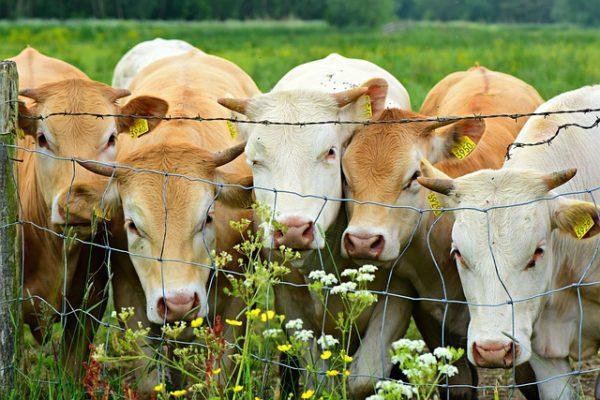A szarvasmarhatartás az egyik legszennyezőbb a környezetre nézve. (Fotó: Pixabay, MabelAmber)