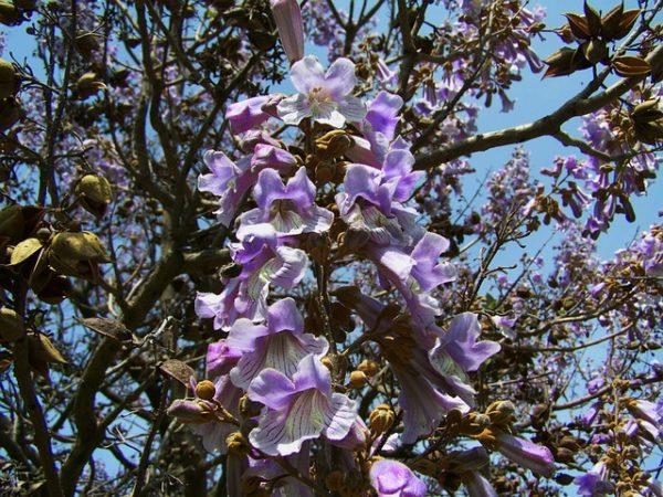 A császárfa erőteljes növekedésű növény (Fotó: Pixabay, ArmbrustAnna)