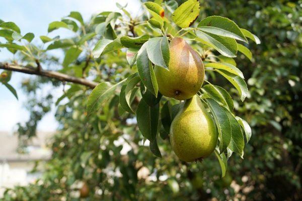 A varasodás és a lisztharmat elleni új szer segíti az alma- és a körtetermesztők dolgát