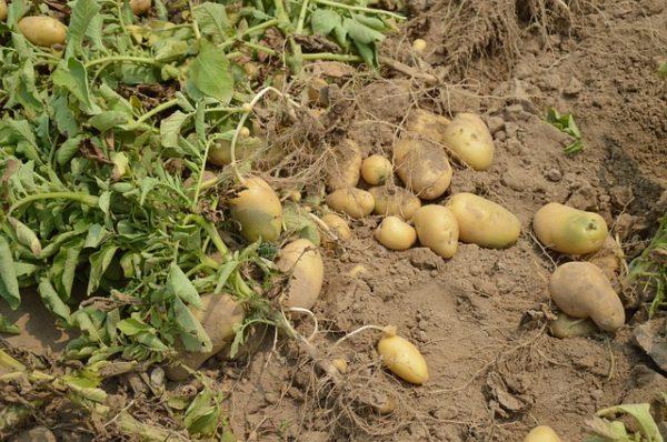 A bioburgonya termesztési kísérletekben részt vevő gazdálkodók új tápanyagutánpótlási képzést kaptak