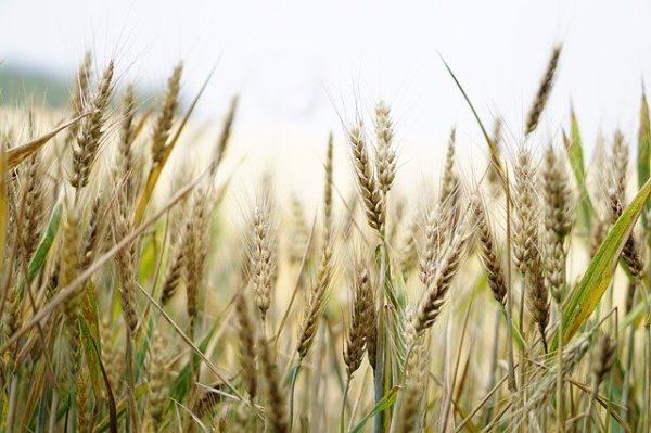 Érdemes kihasználni a búzaárak növekedését - képünk illusztráció