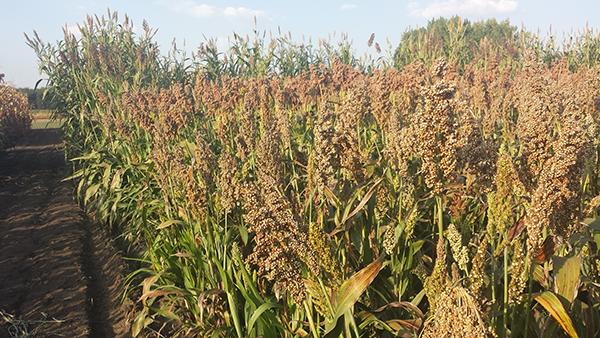 A Vajdaságban is megfontolandó a felmelegedést és a szárazságot jobban elviselő alternatív növények termesztése