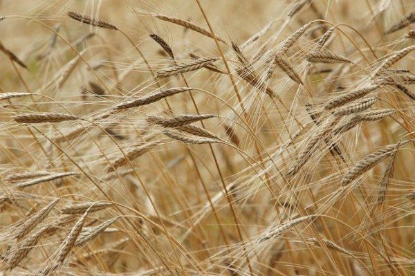 Jelentős hatása lesz a gabonaárak változására a koronavírus miatti intézkedéseknek - képünk illusztráció