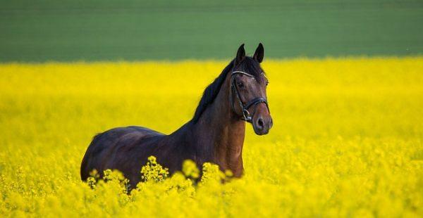 Komoly áresésben van, ezért sötét ló most a világ tőzsdéin a repce - képünk illusztráció
