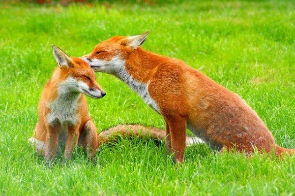 Megkezdődött a rókák veszettség elleni vakcinázása. (Fotó: Pixabay, Skeeze)