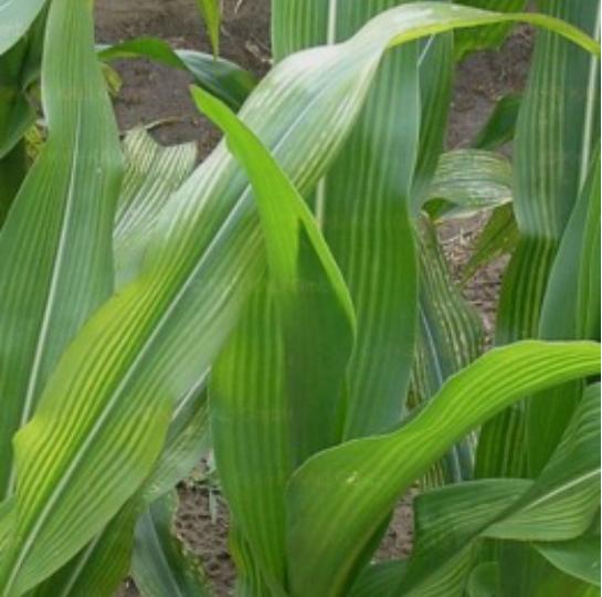 Magnéziumhiány tünetei a kukoricalevélen