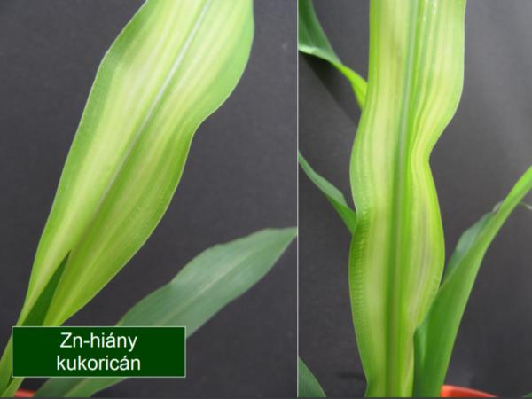 A cinkhiány megjelenése a kukoricaleveleken (Fotó: K+S)