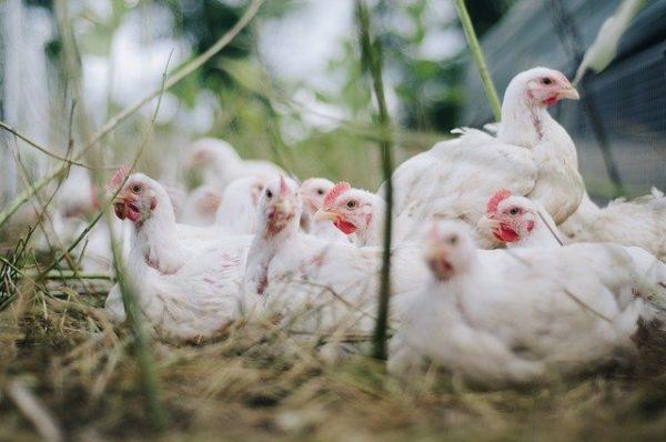 A madárinfluenza járvány pusztítása miatt rendelt el könnyítéseket az Agrárminisztérium. (Fotó: Pixabay, Bohdan Chreptak)