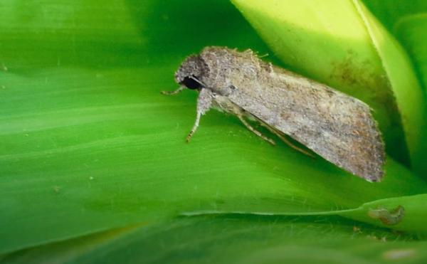 A Spodoptera frugiperda, vagyis az őszi sereghernyó - forrás: FAO