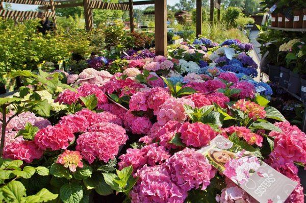 Fontos, hogy hazai termesztésű virágokat vásároljunk a dísznövény kertészetek támogatása érdekében. (Fotó: Pixabay, Ivabalk)
