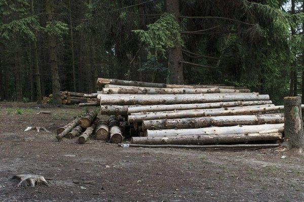 Az erdőgazdaságok minden kivágott fa helyére csemetét ültetnek. (Fotó: Pixabay, Pavlofox)