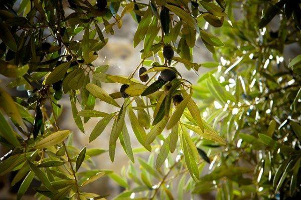 A járvány terjedésének megállítására nincs gyógymód, csak a fák kivágása segíthet. (Fotó: Pixabay, Julie-Kolibrie)