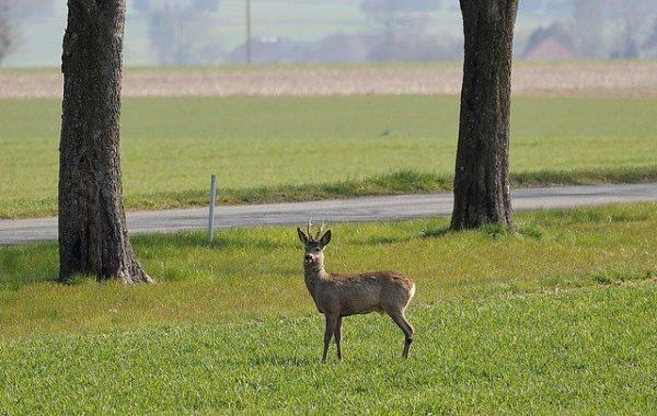 A hazai vadászat jelentős bevételektől esik el az őzbakszezonra lemondott foglalások miatt