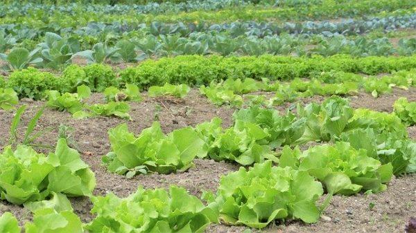 Számos olyan zöldség van, amely kertünkben tavasszal könnyen termeszthető, csak egy kis odafigyelésre van szükség. (fotó: Pixabay, Silviarita)