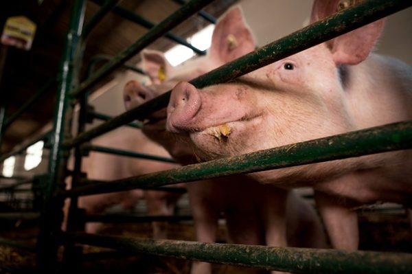 A pályázat a sertés- és a baromfitenyésztő gazdákat támogatja a járványok elleni küzdelemben. (Fotó: Pixabay, Borevina)