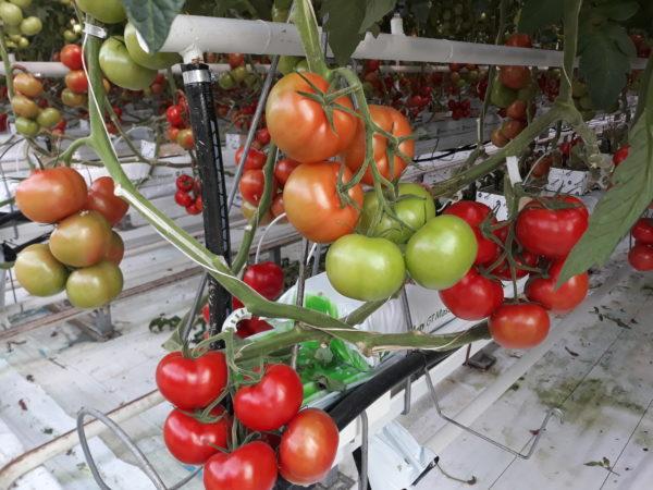 A legnagyobb magyarországi áruházláncokat is ellátja áruval a szentesi zöldséghajtató cég - Fotó: CSZS, Magro.hu