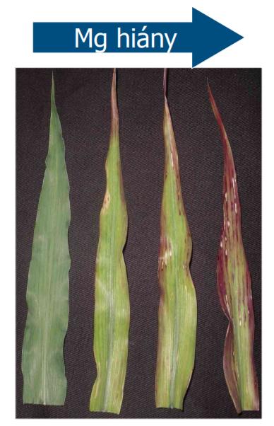 A magnézium hiánytünetei kukoricánál