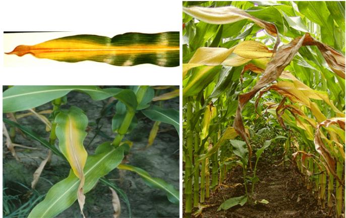 A nitrogén hiánytünetei kukoricánál