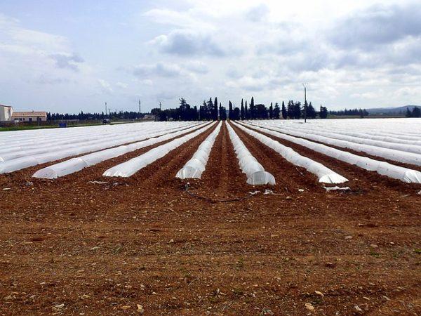 Megkezdődött a dinnye kiültetése: a jó minőségre törekednek a gazdák