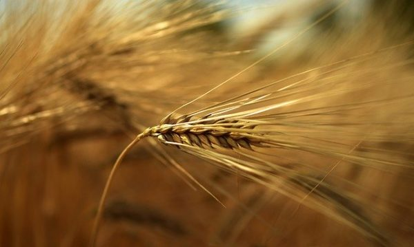 Jó minőséget és termést hozhatnak az őszi kalászosok Békés megyében, ha megjön a várva várt csapadék - képünk illusztráció