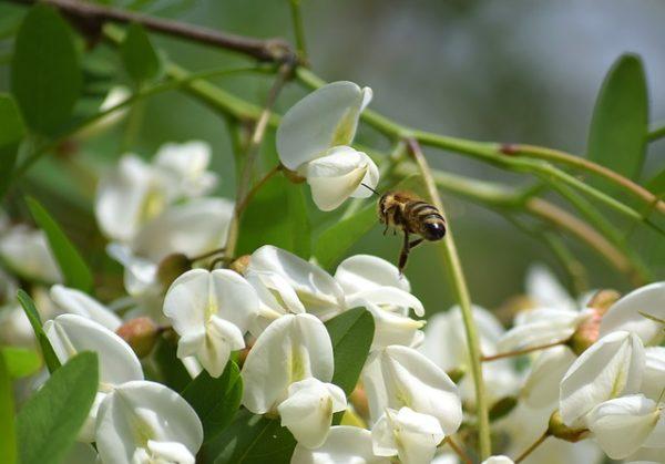 Enyhe tavasz, durva fagy, és nektár nélküli virágok miatt is lehet idén kevés az akácméz mennyisége