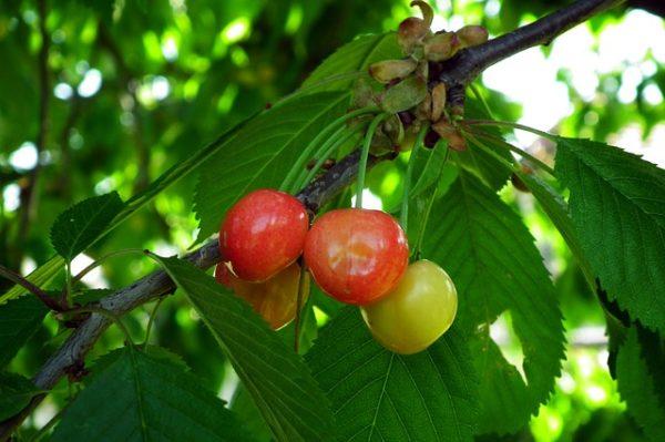 A monília, a lisztharmat és több gyümölcsmoly is kihívást okoz a növényvédelemben - képünk illusztráció
