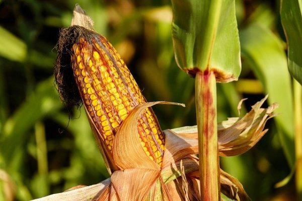 A kutatásban a kukorica, a cirok és a szójabab vettek részt, amelyek a legnagyobb arányban termesztett növények az Egyesült Államokban. (Fotó: Pixabay, Couleur)