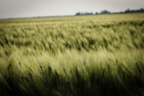 Magasan mozognak a gabonaárak, amiről főként az aszály tehet - Fotó: Adam's Photovison