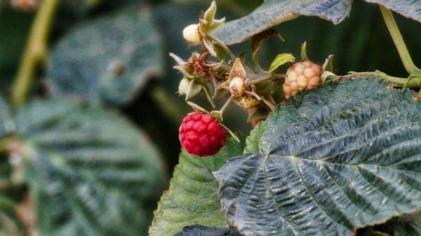 Augusztus végéig ideiglenesen használható a Mospilan a bogyós gyümölcsök rovarölő permetezésére - képünk illusztráció