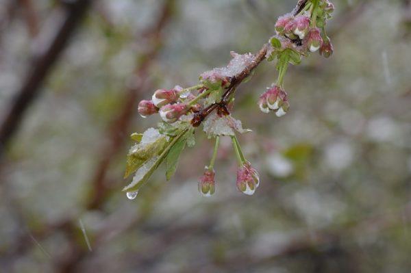 A fagy a korai fajtákat károsította leginkább, mint a kajszibarackot, az őszibarackot és a cseresznyét. (Fotó: Pixabay, Nikolai17)