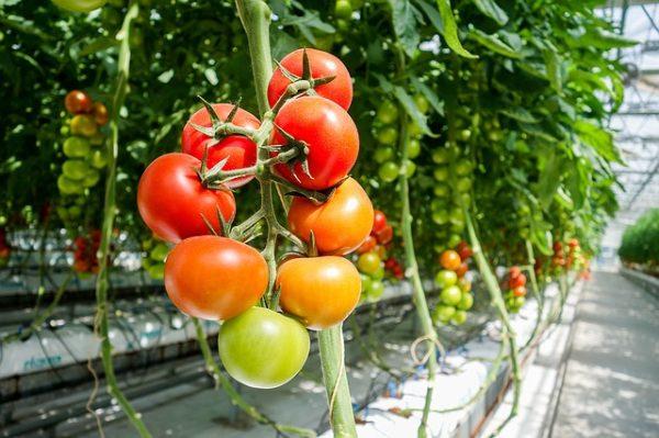 Oroszország célja az, hogy teljesen önellátó legyen zöldség-ellátás tekintetében. (Fotó: Pixabay, Davehan2016)