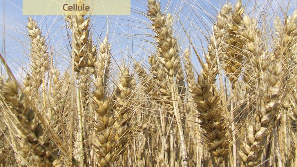 A Cellule akár 10 tonna termést is hozhat