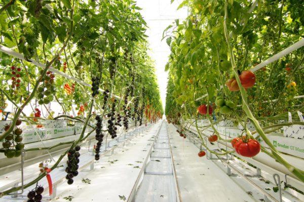 Átadták a hollandiai Tomato Vision paradicsomközpontot