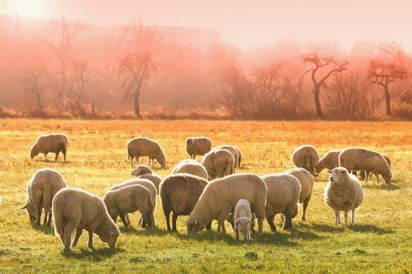 A juhállomány fenntartásához érdemes odafigyelni a legelők állapotára. (Fotó: Pixabay, Analogicus)
