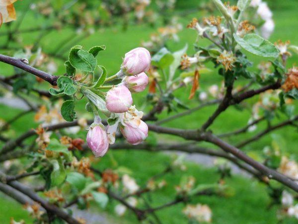 Nagy károkat szenvedtek el a lengyel almaültetvények a májusi fagyok miatt - képünk illusztráció