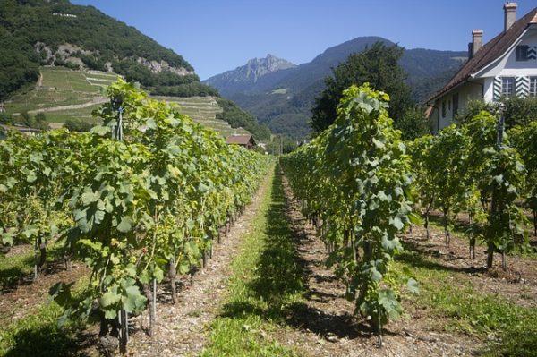 a hazai szőlőültetvények 2,5 százaléka újulhat meg az idén a szőlőültetvények szerkezetátalakítási és átállítását célzó támogatásnak köszönhetően - képünk illusztráció