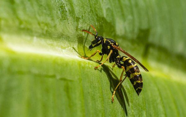Hawaii szigetén kutatták, hogy vírusokkal fertőzi a varroa atka a darazsakat is - képünk illusztráció