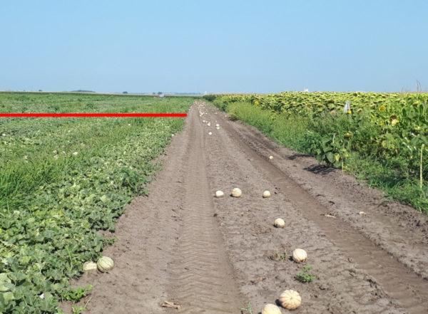 Így teljesít a Water2Farm sárgadinnyében: a piros vonal előtt kezelt, utána a kezeletlen selejt látható - Fotó: NAK