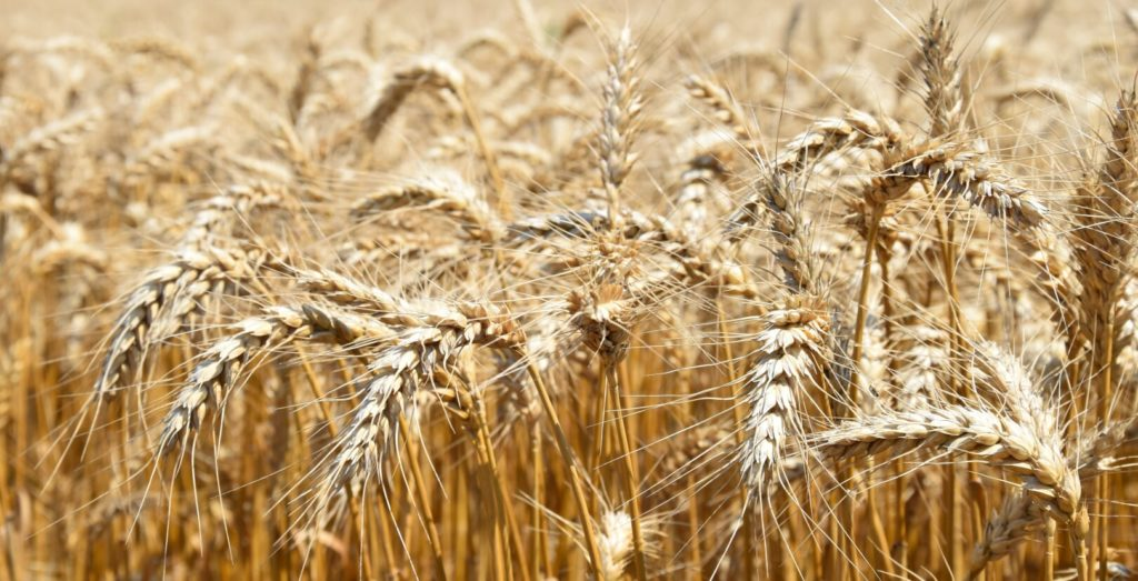 A Basilio aratás előtt