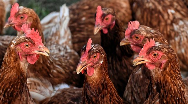 Sikeres volt a madárinfluenza járvány elleni harc, indulhat az újratelepítés (Fotó: Pixabay, Alexas_Fotos)